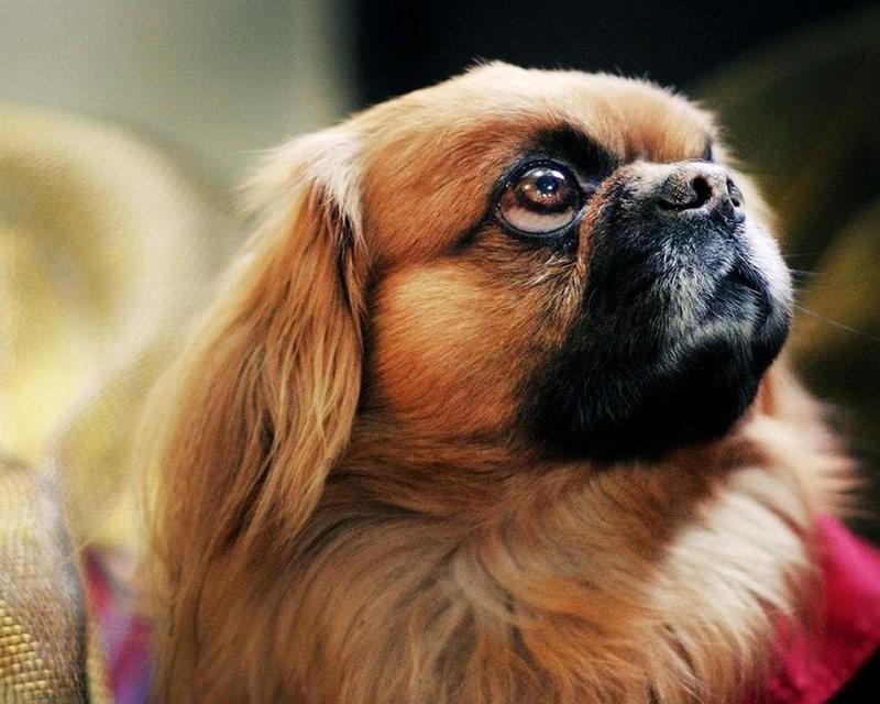 процедуре смотреть картинки собак пекинесов ходом ничего практически