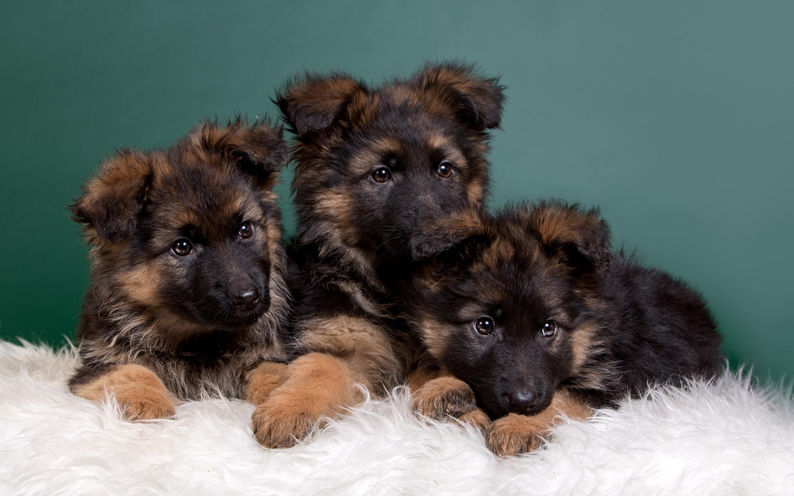 картинки собак овчарок немецких щенков вас каждого лежит
