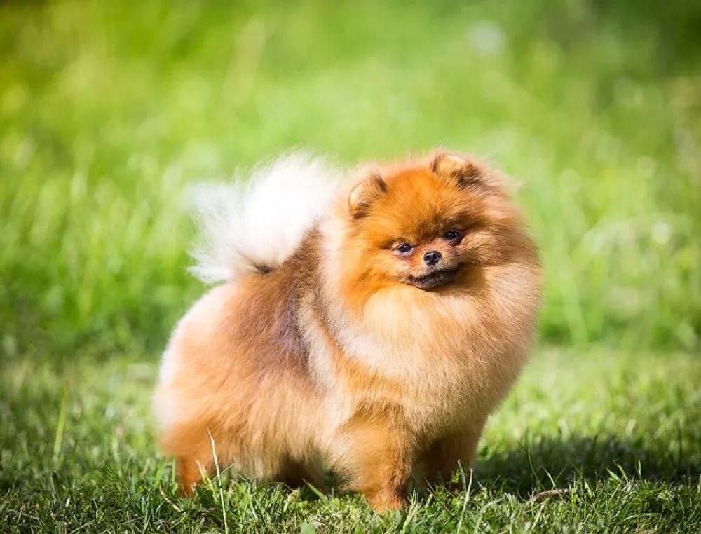 Чем кормить померанского шпица и как за ним ухаживать? Уход за щенками в домашних условиях, питание и содержание карликовых шпицев, отзывы