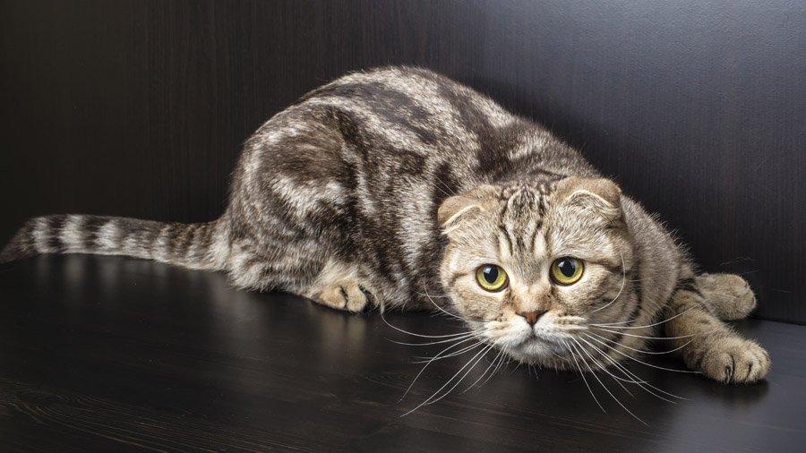 Как назвать девочку кошку шотландскую вислоухую: особенности породы, интересные клички, отзывы