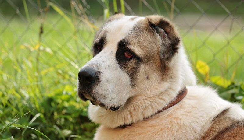Как можно назвать алабая: клички для собак мальчиков и девочек