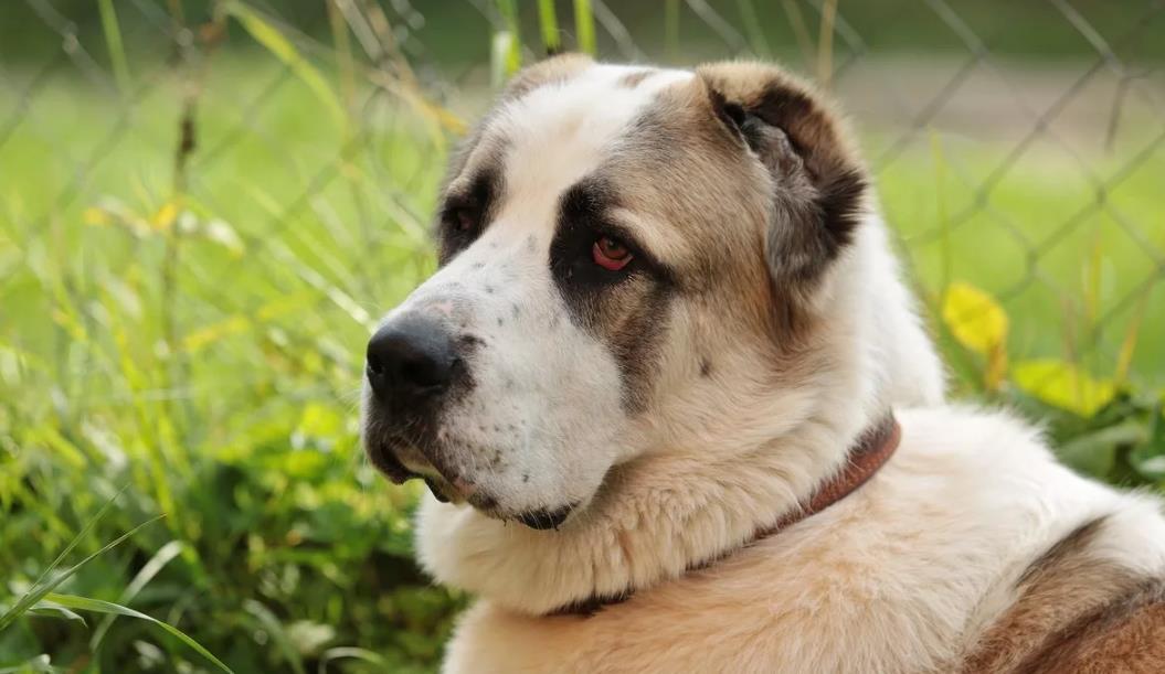 Картинка собаки алабая взрослого