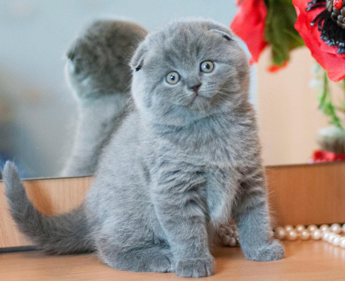 нет, все о шотландских котятах в картинках собрали фото, которые