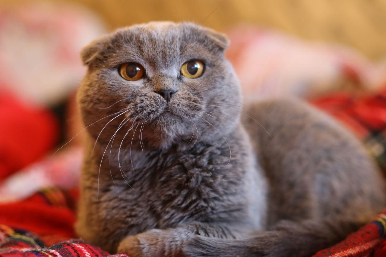 Картинки вислоухих котика