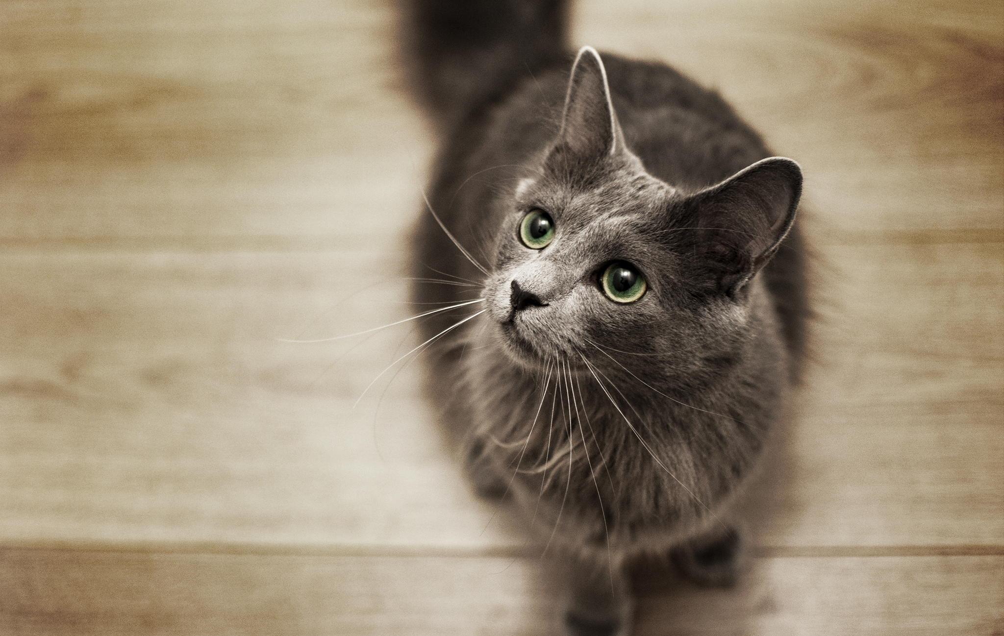 Нибелунг 🐈 фото кошки, история и описание породы, характер, уход