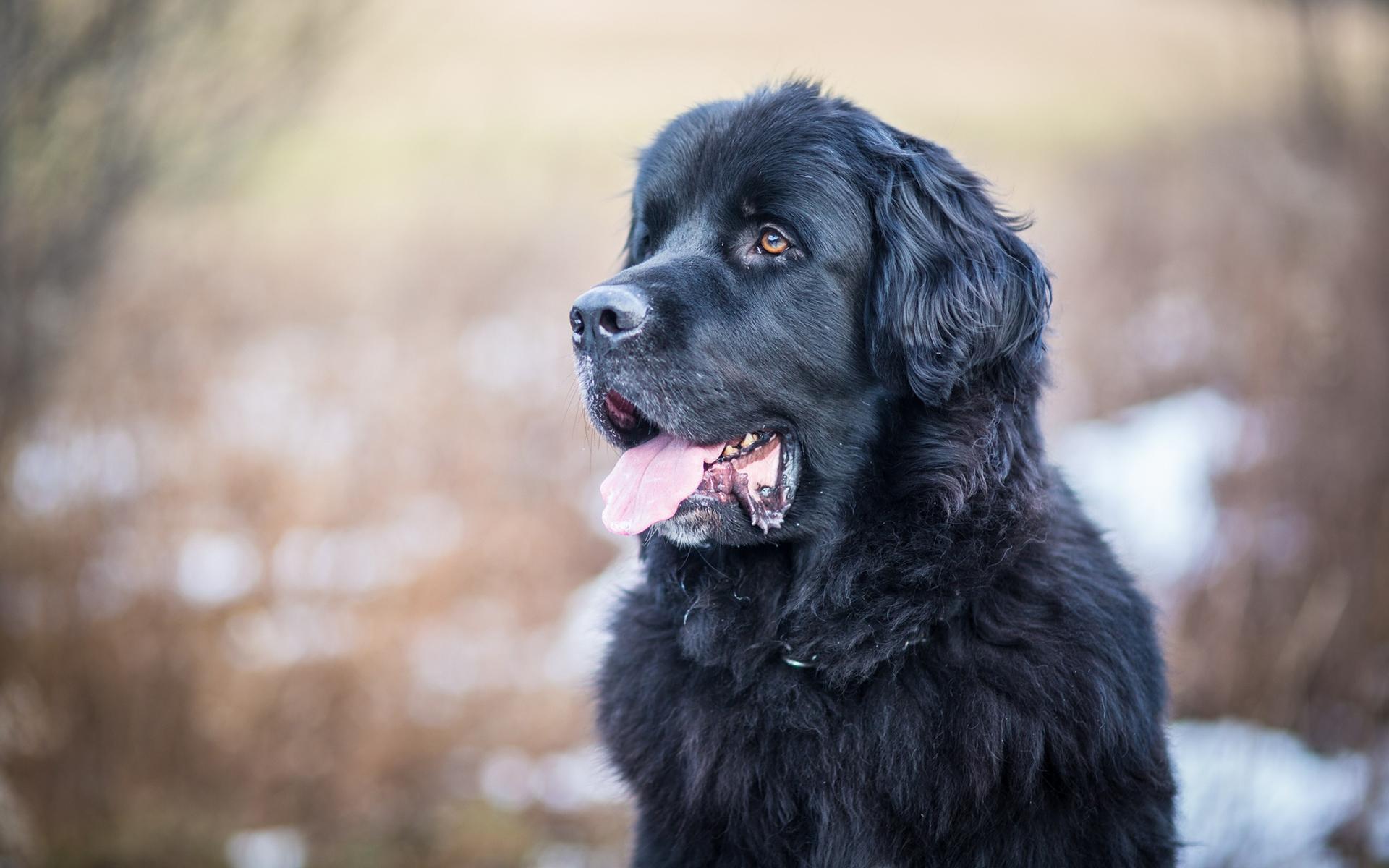 Порода собаки водолаз фото