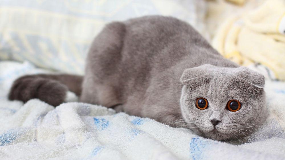 Скоттиш фолд серый окрас кошки