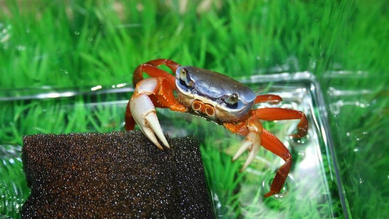 Содержание радужных крабов в аквариуме