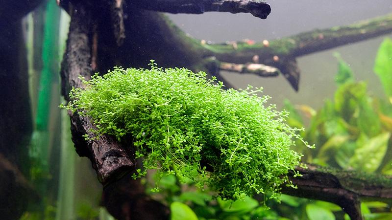 Хемиантус (15 фото): аквариумные растения хемиантус микрантемоидес и микрантемум Монте Карло, содержание в аквариуме и уход