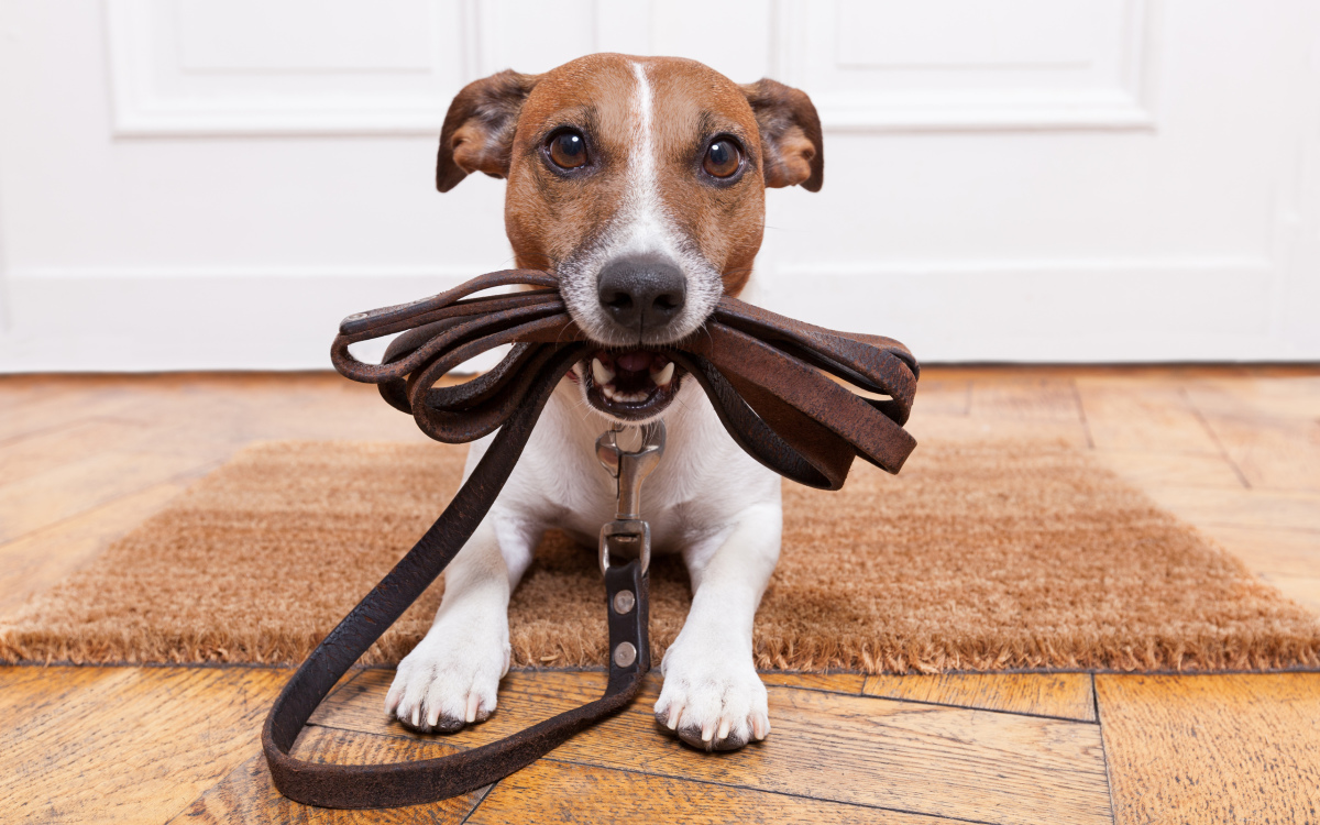 Как приучить щенка к поводку? Как научить собаку ходить рядом? Приучение щенка и взрослой собаки к ошейнику