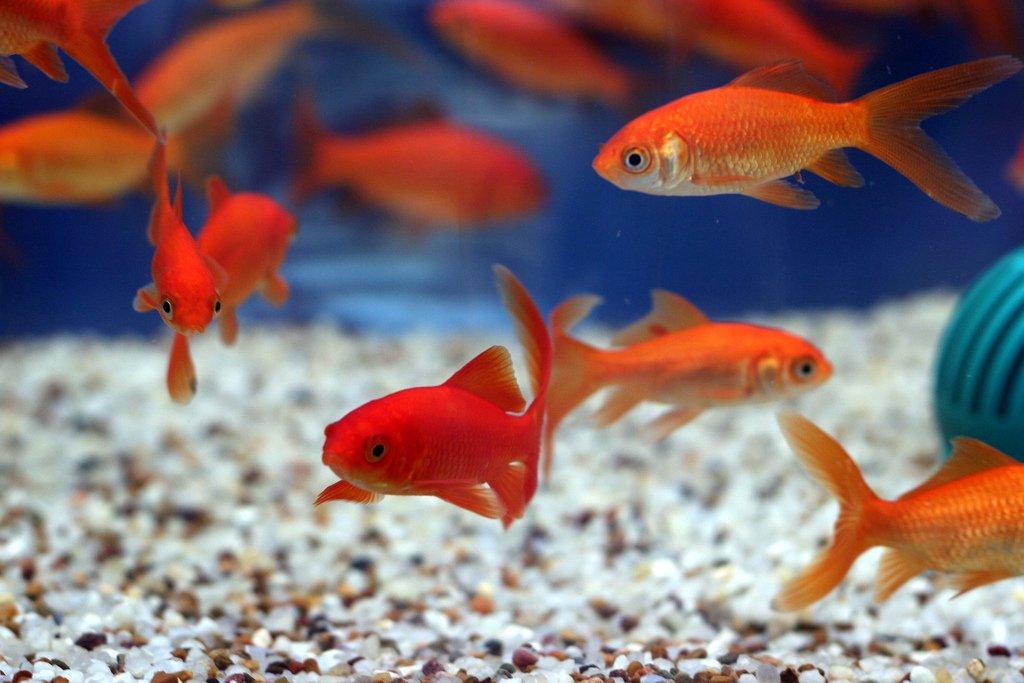 уважающие все картинки домашних рыб это
