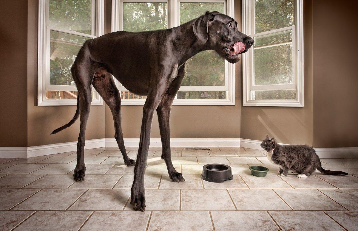 Картинки самых огромных собак в мире