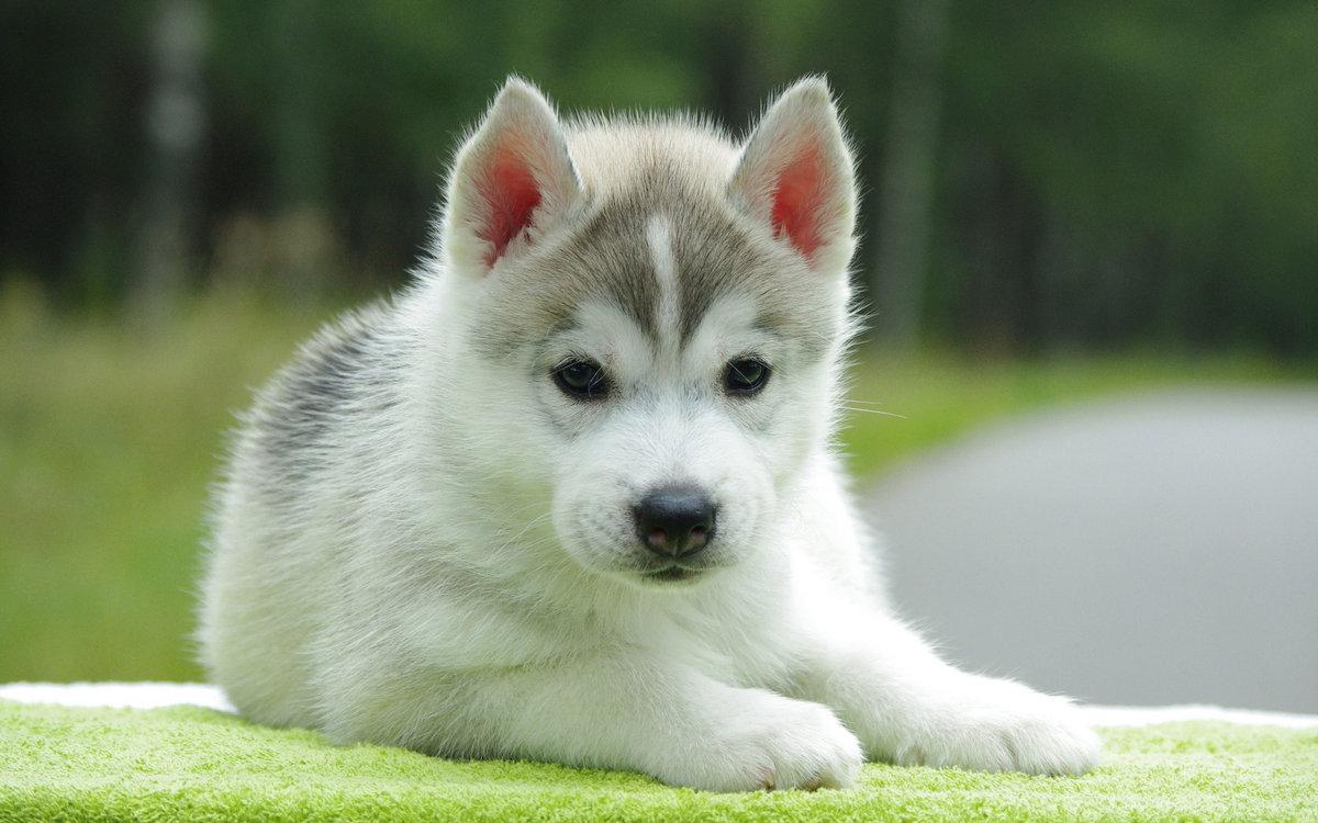 Как называют собак породы лайка