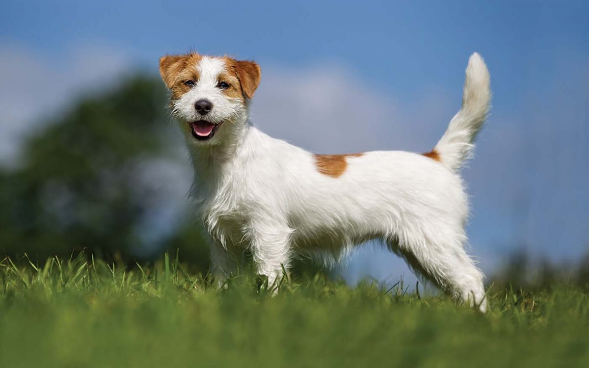 Джек-рассел-терьер — описание породы собаки от А до Я