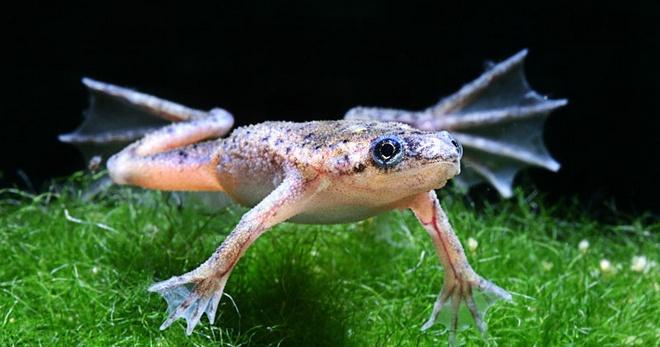 Лягушки для аквариума - Для аквариума