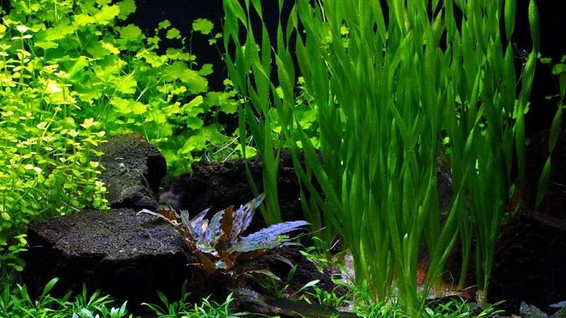 Разновидность аквариумных растений
