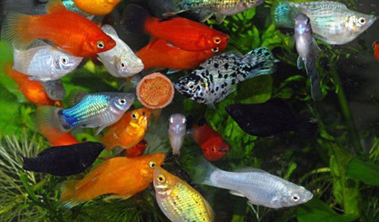 Моллинезия описание рыбки