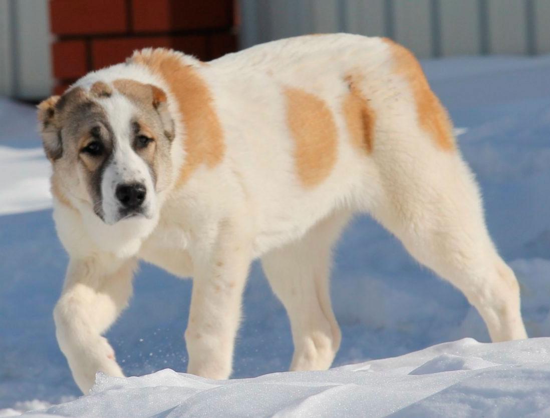 Сао что за порода собак
