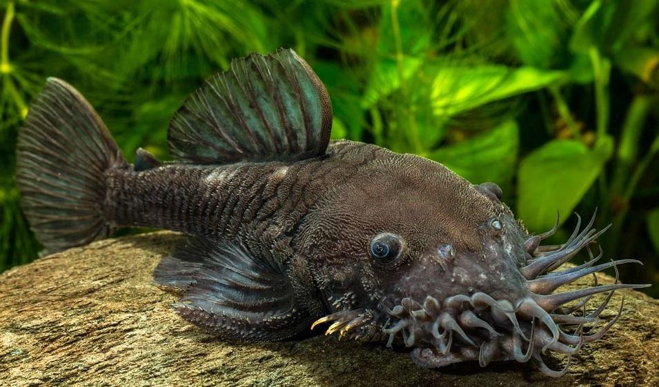 Сомики аквариумные их разновидности сомик лисичка