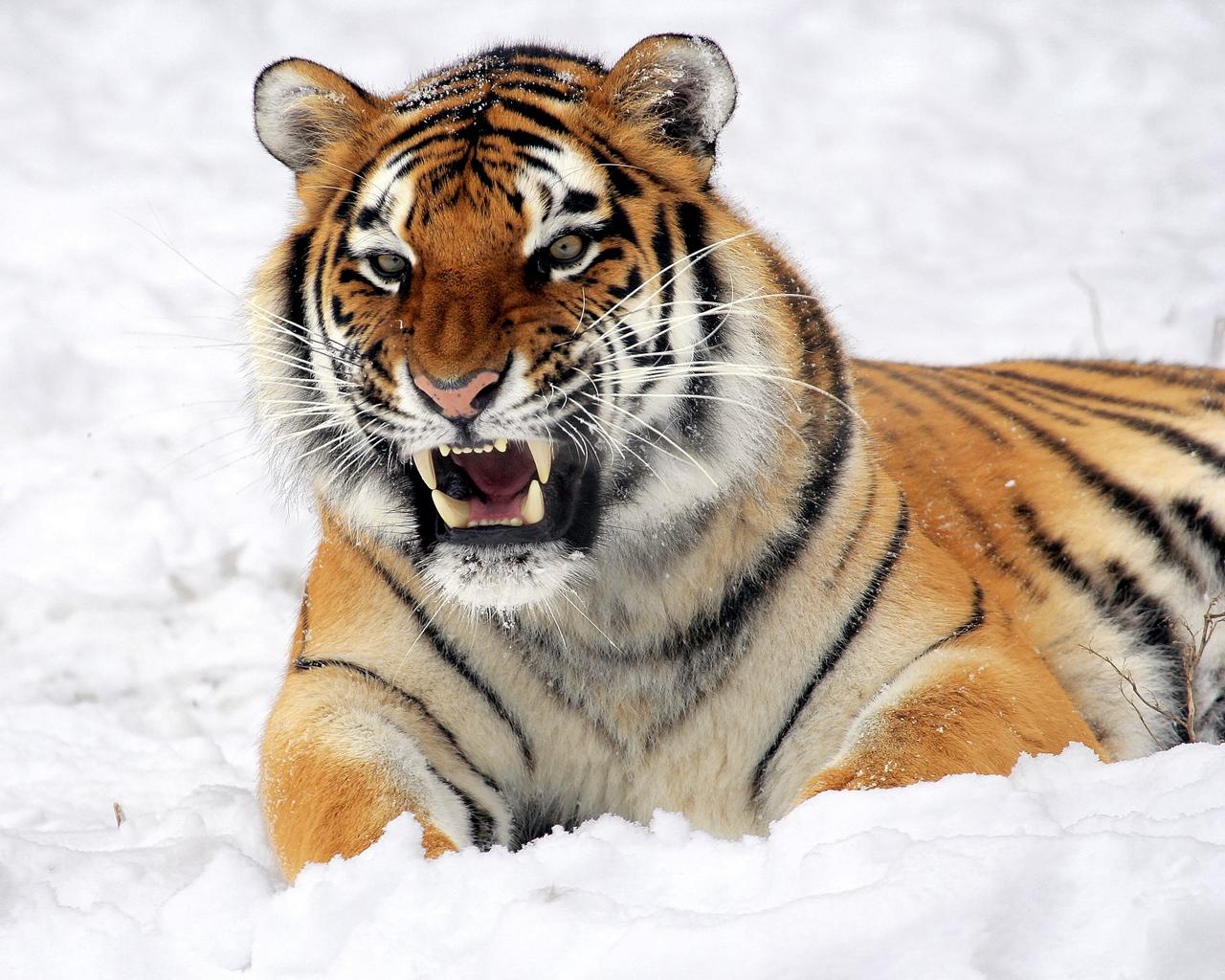 2022 год какого тигра