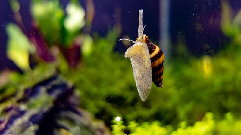 Как уничтожить улиток в аквариуме