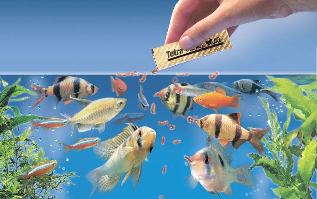 картинка кормить рыбок в аквариуме был один