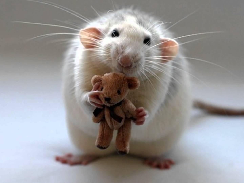 Год крыса картинки, произвольную