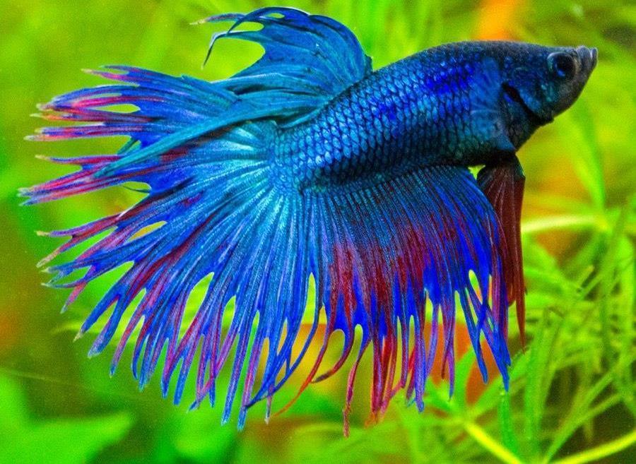 Рыбы петухи с картинками
