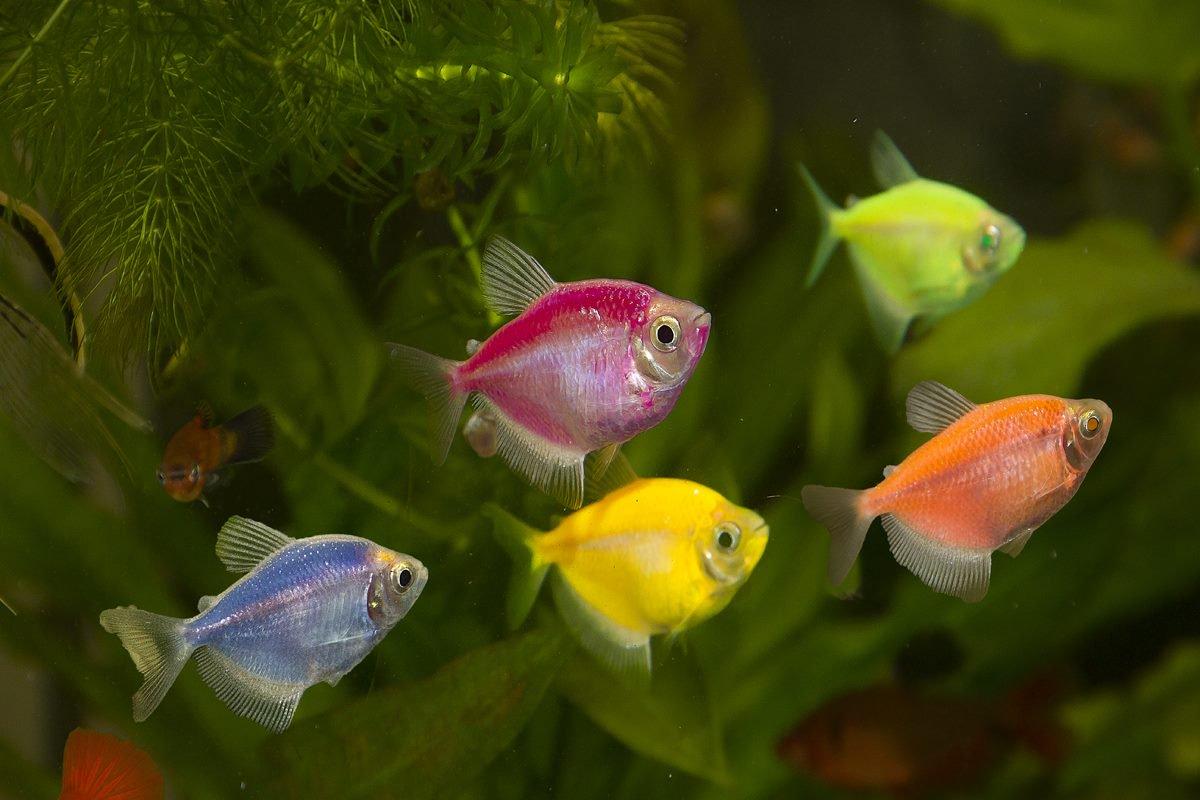Тернеция : Виды, содержание, совместимость с другими рыбками, размножение, болезни, разведение