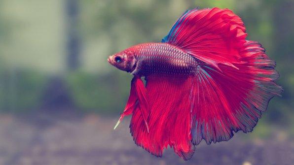 Рыбки петушки: содержание и уход в мини аквариуме