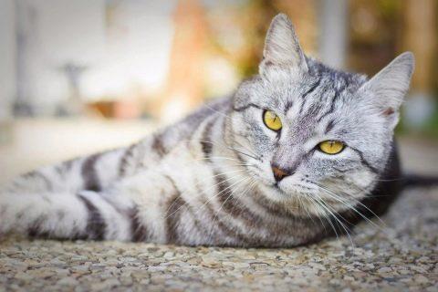 как выглядит британская кошка