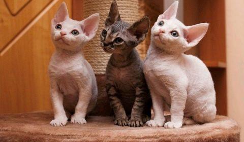 кошки рексы какие бывают