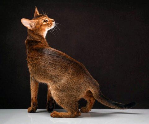 абиссинская кошка дикий окрас фото