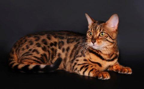 ТОП 10 пород кошек похожих на леопарда, тигра и другие дикие виды ... | 296x480