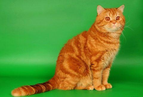 Привычки британских кошек | 326x480