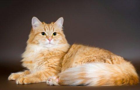 сибирская порода котов рыжий