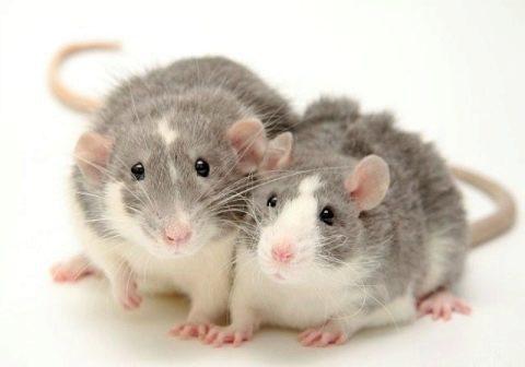 крыса дамбо отзывы владельцев