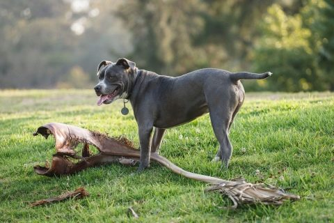 породы больших гладкошерстных собак
