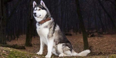Хаски коричневые: как выглядят щенки на фото и встречаются ли с ... | 240x480