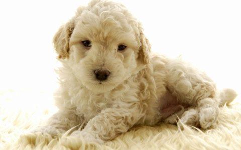 кудрявые белые собаки