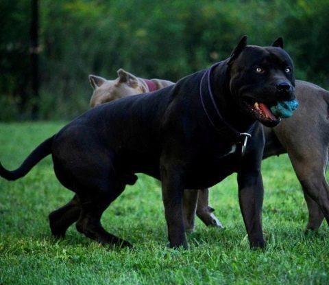 питбуль собака черный