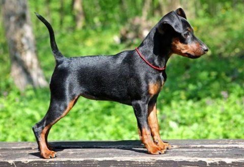 гладкошерстные собаки фото