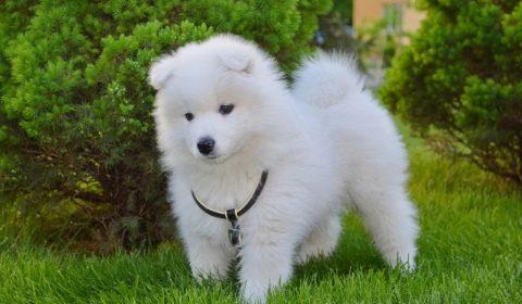 небольшие пушистые собаки