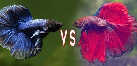 разновидности петушков аквариумных