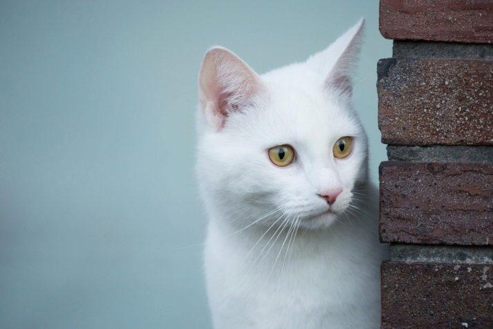 Белые кошки название породы белой пушистой кошки