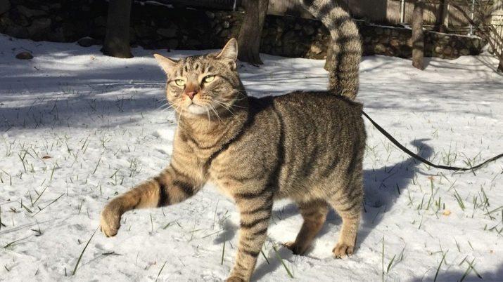 Самая популярная порода кошек в китае thumbnail