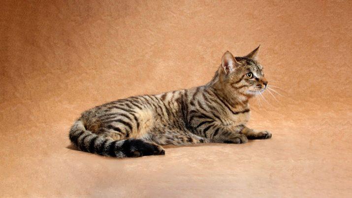 Самая популярная порода кошек в китае