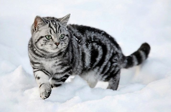 Британские кошки окрас вискас все о породе