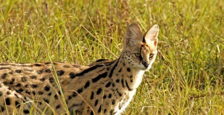 Кошка саванна поведение и характер