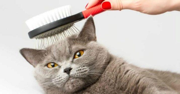 Сколько живут кошки британки в домашних условиях thumbnail